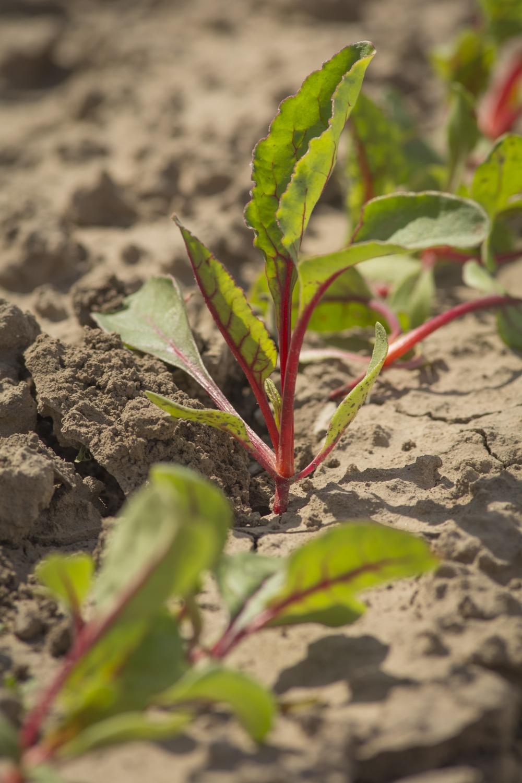 Kale growing in a field south of Edinburg, Texas.©2018/Jerry Redfern