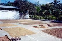 Coffee-Drying Patio