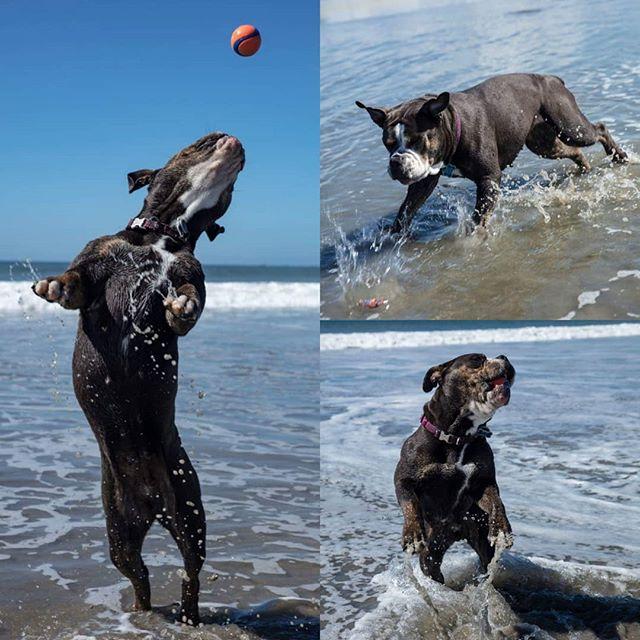 Just a few shots of Betty playing fetch! She's going to miss the beach here! #coronadobeach #coronadodogbeach #oeb #oebofinstagram #bulldogsofinstagram #dogphotographer #dogphotographers