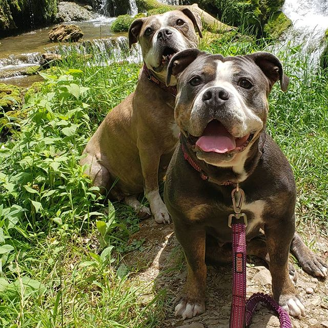 The girls out hiking waterfalls! Our fur babies have now visited 18 states... They love the family road trips and adventures! #dogsofinstagram #oeb