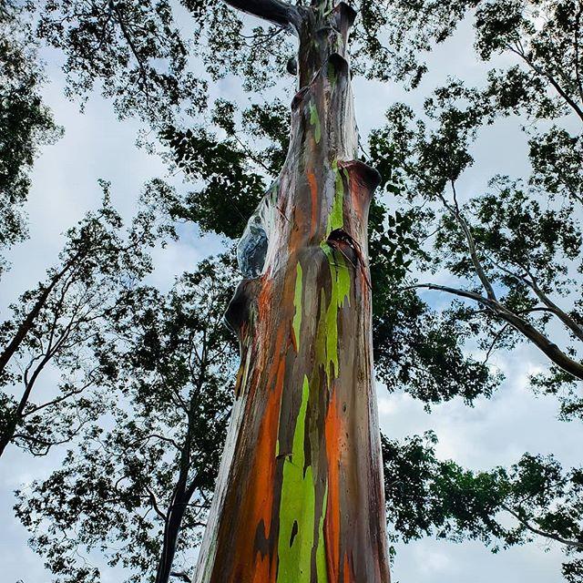 The elusive Skittle tree has been found! #rainboweucalyptus #skittletree #hawaii