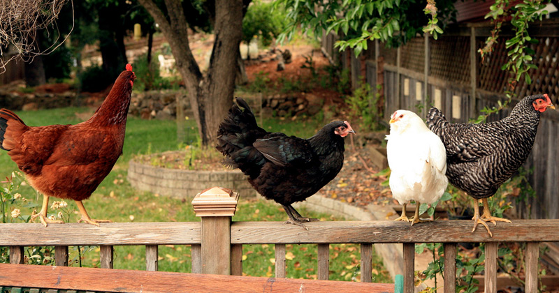 00-featured-raising-backyard-chickens.jpg