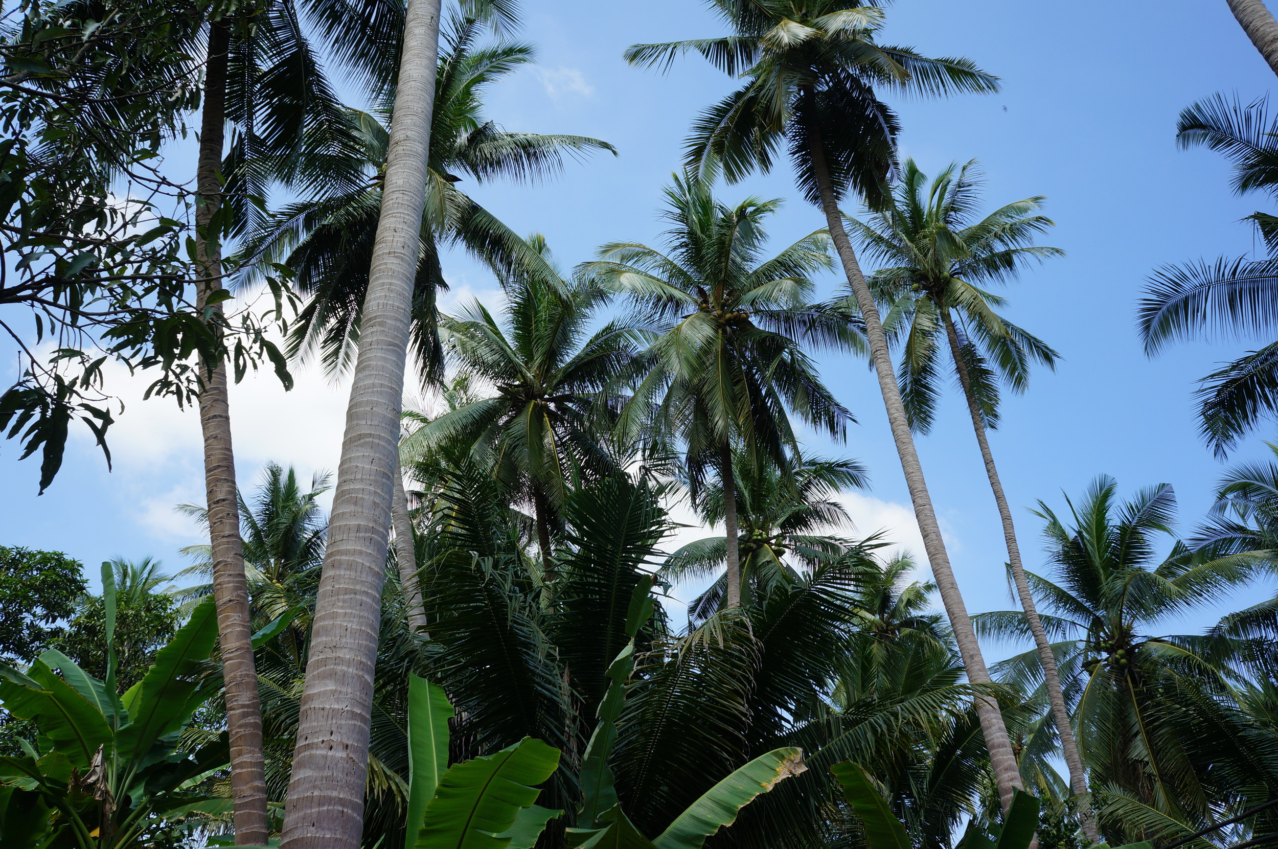 The Kokoso Baby coconut farm is an ethical, family-run, certified organic farm in Thailand.