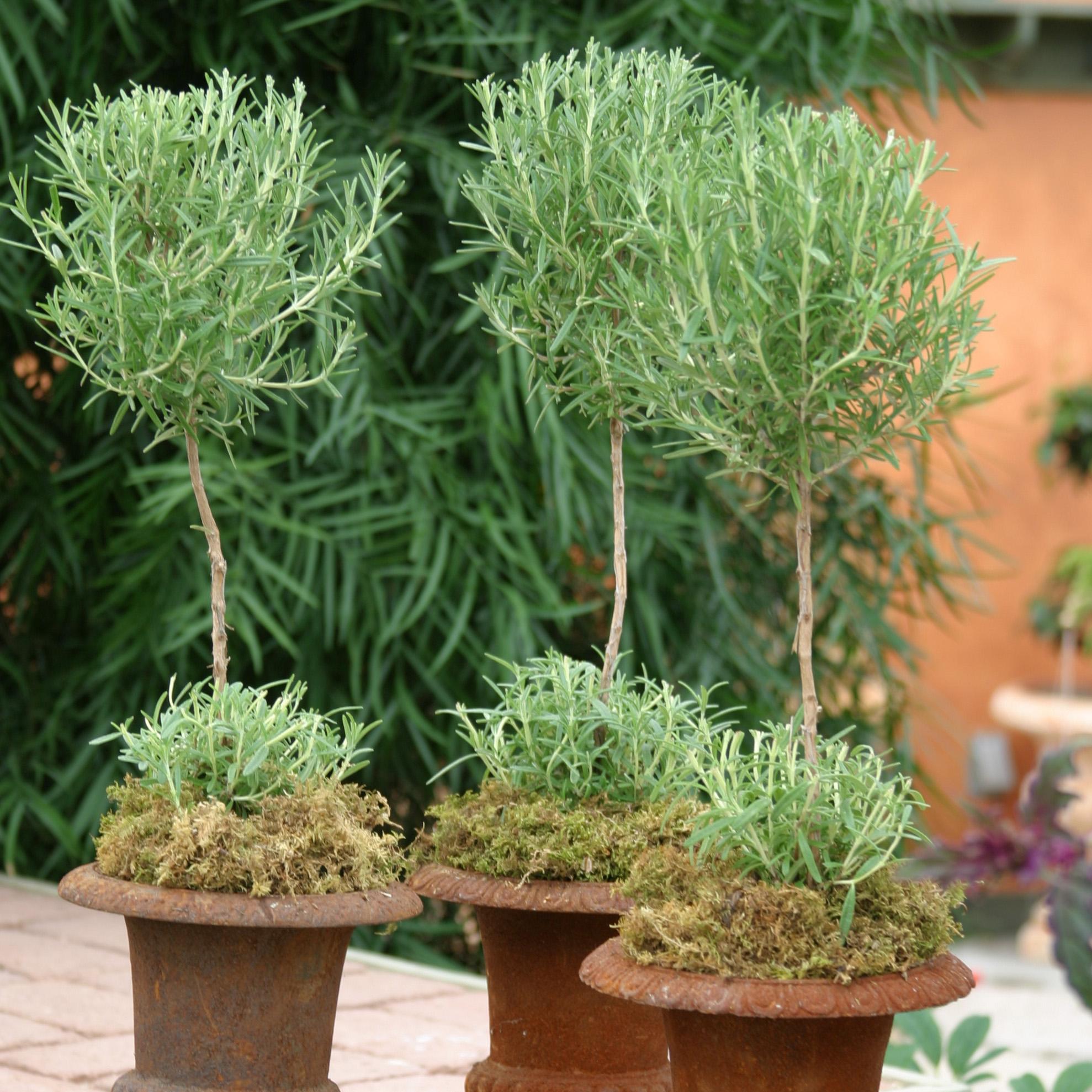 Herb Topiary Care Cactus Tropicals