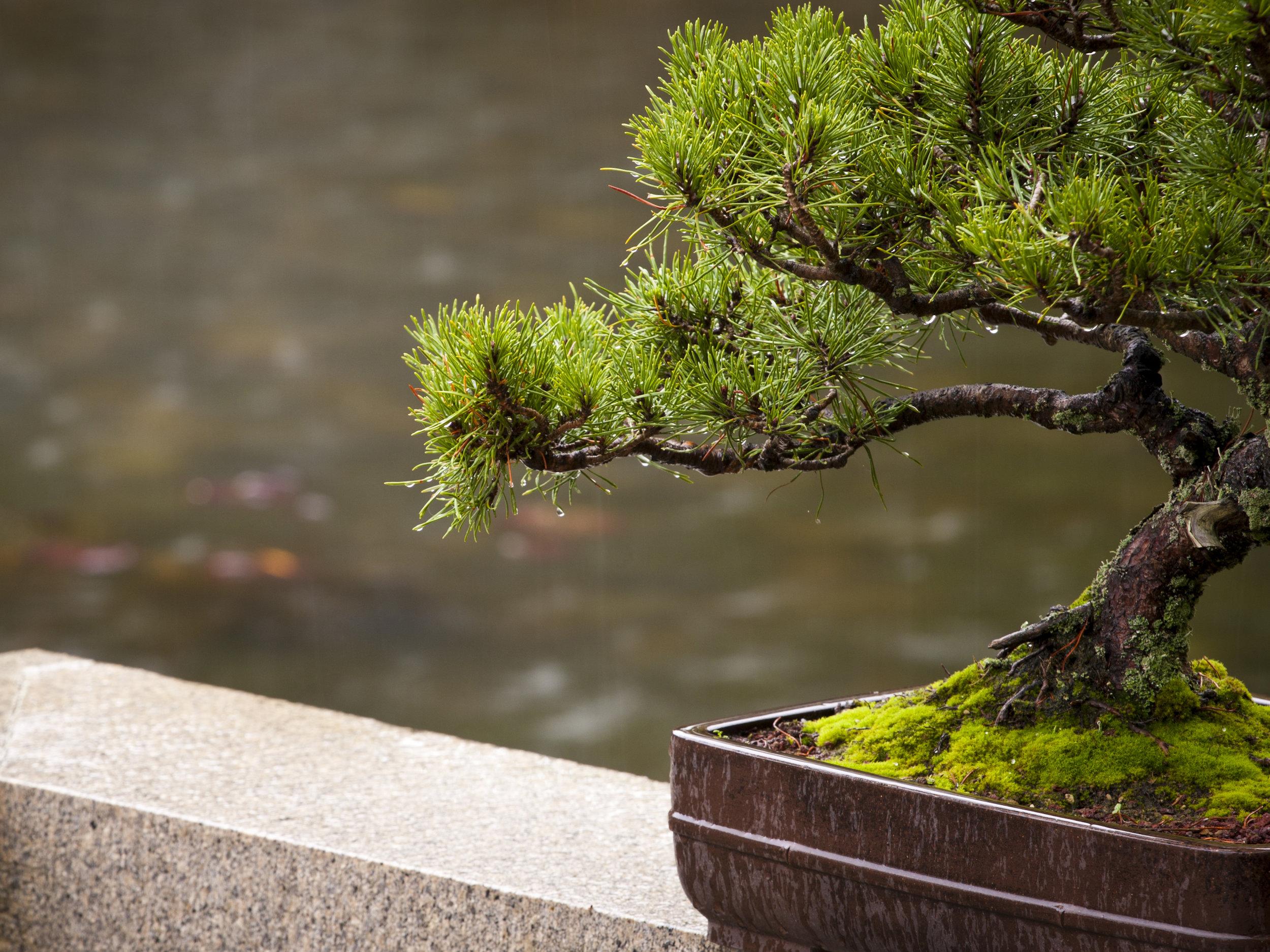 Bonsai2Big.jpg