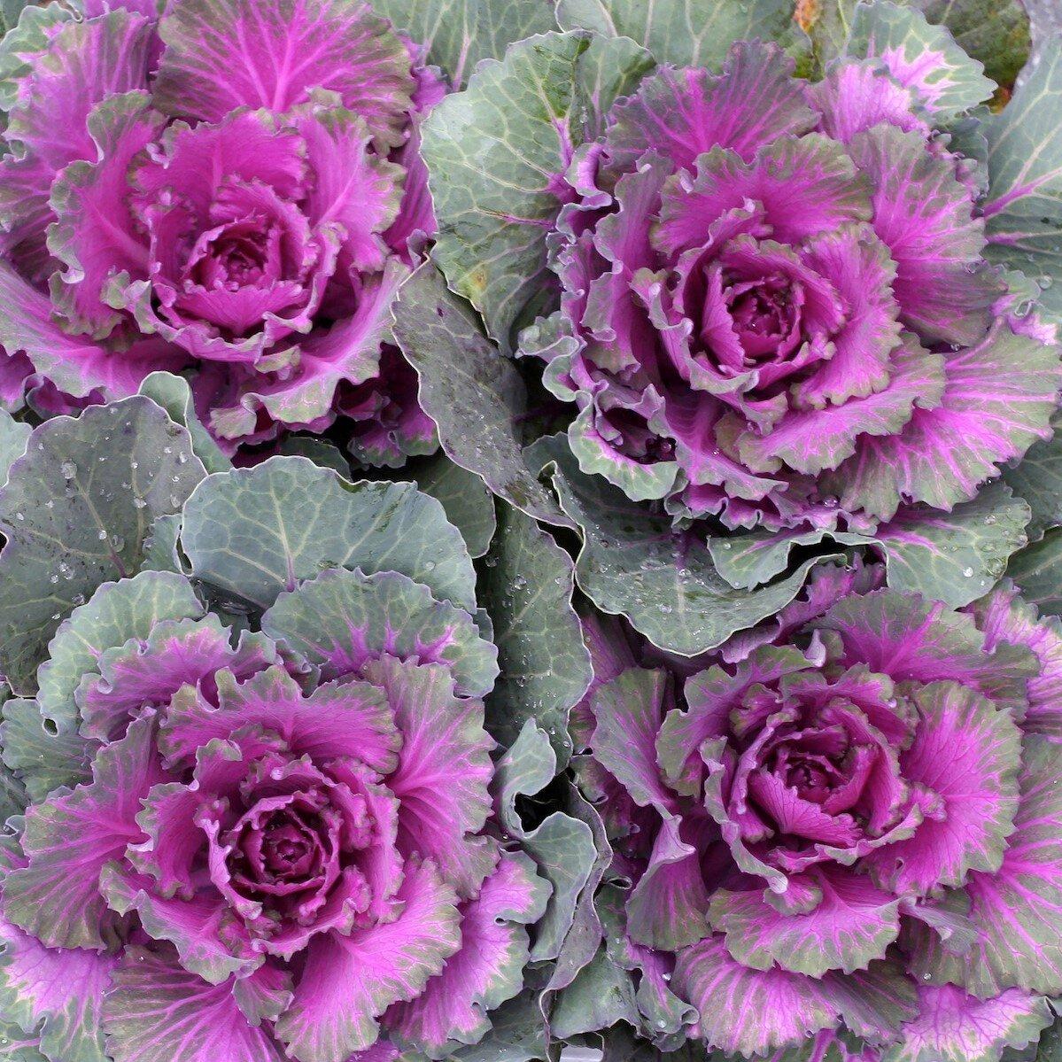 Ornamental Cabbage Cactus Tropicals