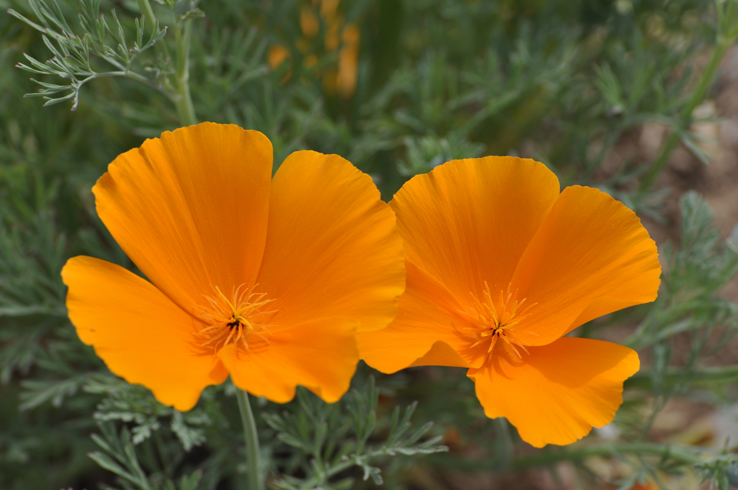 Poppies - Nature as resource for stress reduction.