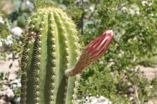 Rolfing® Resources images cactus bud