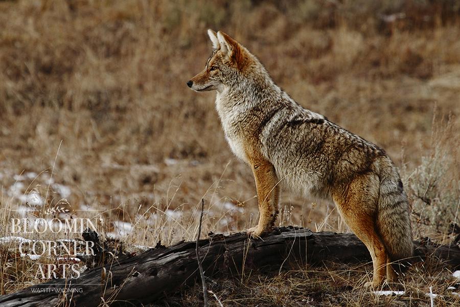 Coyote Curiosity  150  DPI .jpg