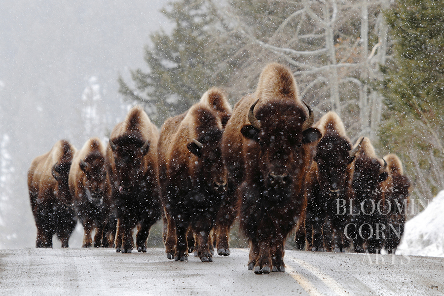 March of the Bison  150 DPI .jpg