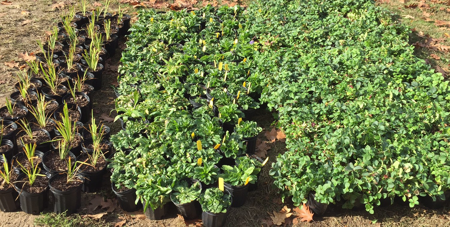 Ground cover perennials ready to be planted.