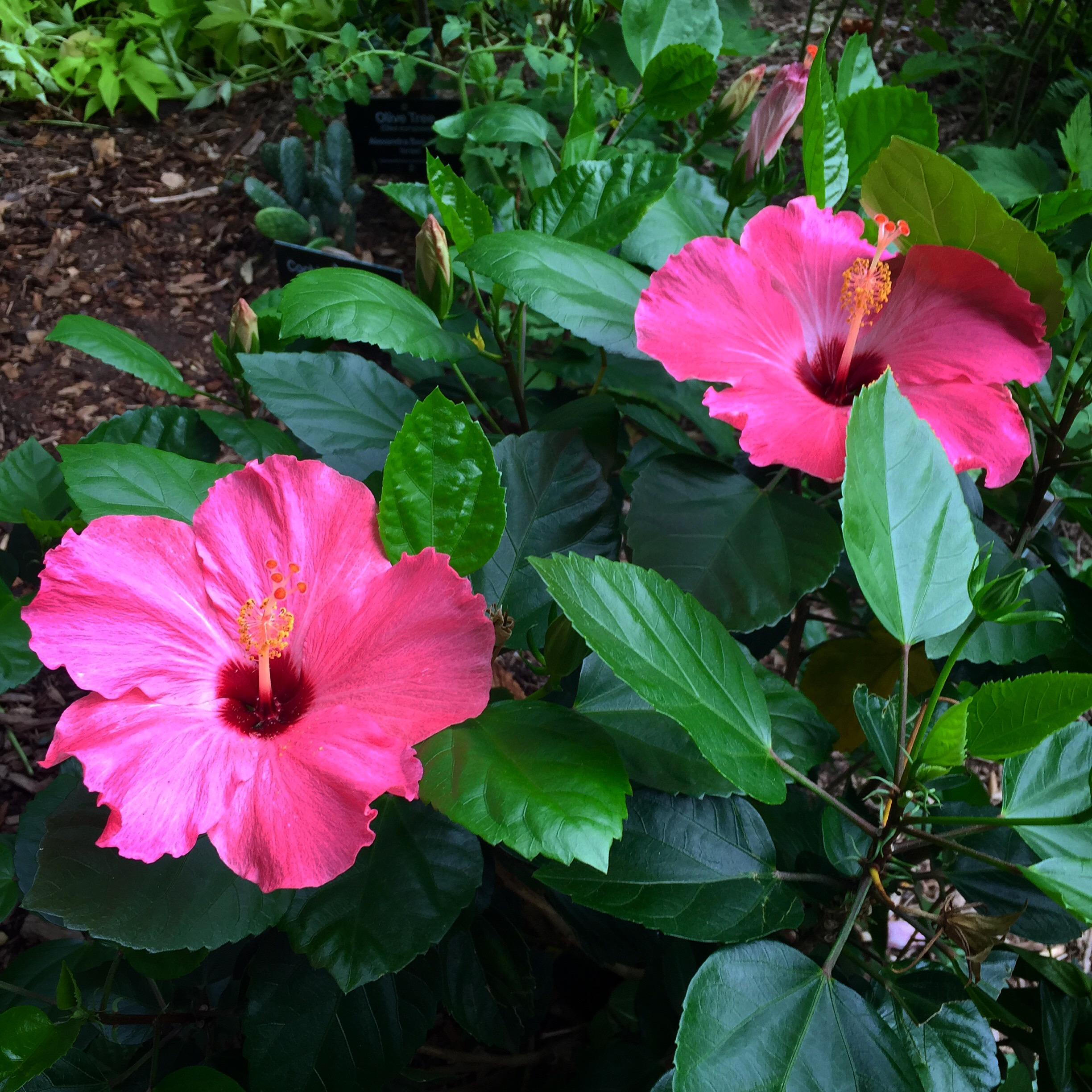 Plant: Pink Hibiscus  Country of Origin: St. Vincent & the Grenades