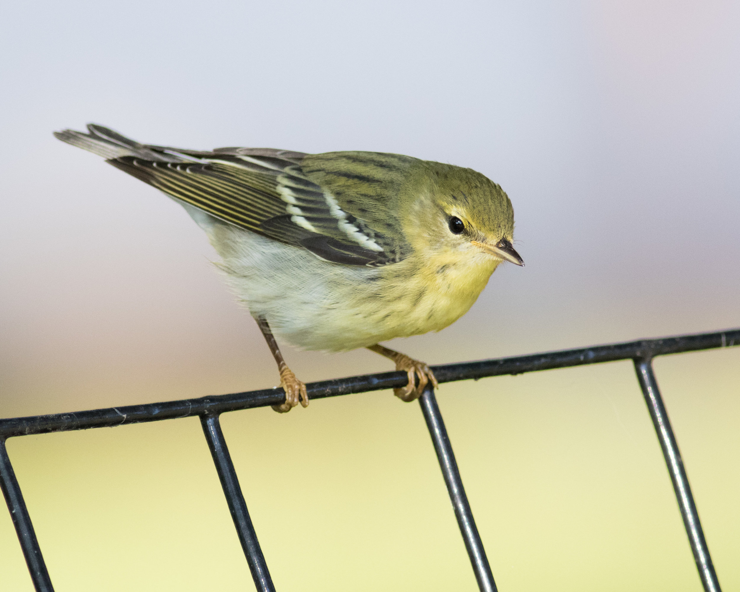 One of the pine warblers we spotted on our walk. Photo by August Davidson-Onsgard.