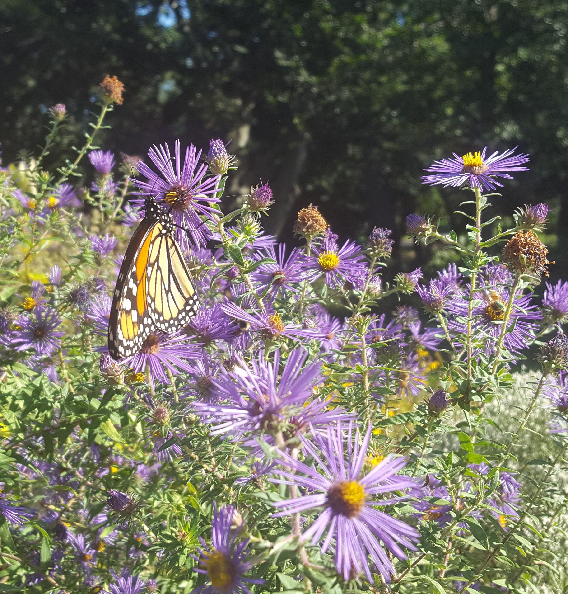 aster with monarch adopt a plant.jpg