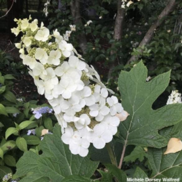 oakleaf hydrangea adopt a plant.png