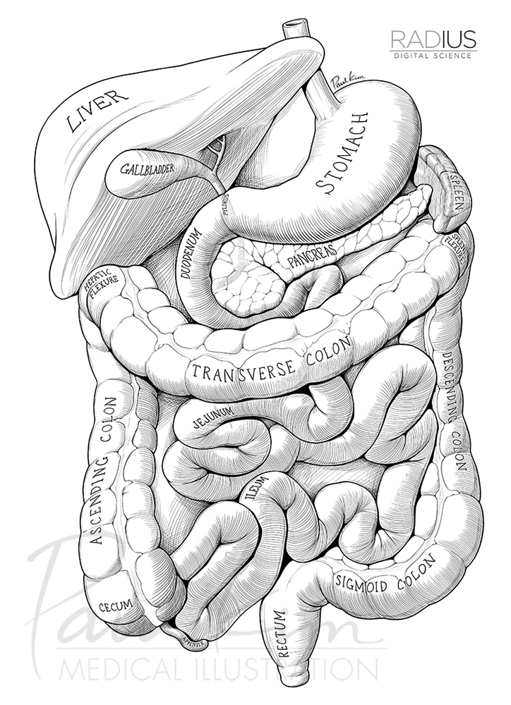 GI Tract & Other Abdominal Organs