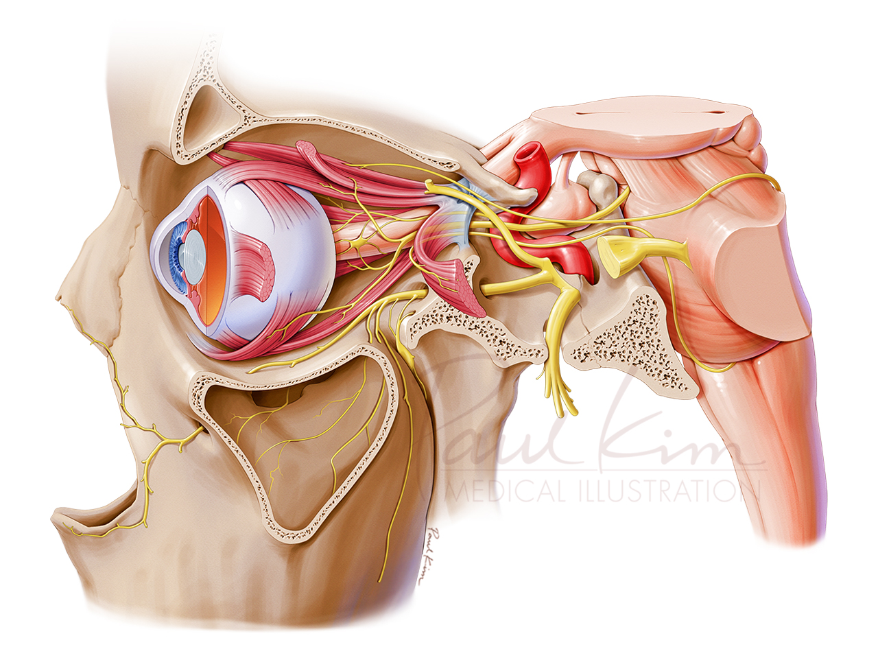 Cranial Nerves III, IV, & VI