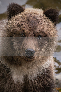 Grizzly Cub, Bella Coola, BC