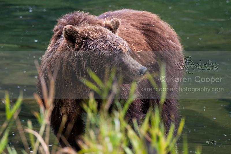 """Atnarko Mother Grizzly"""