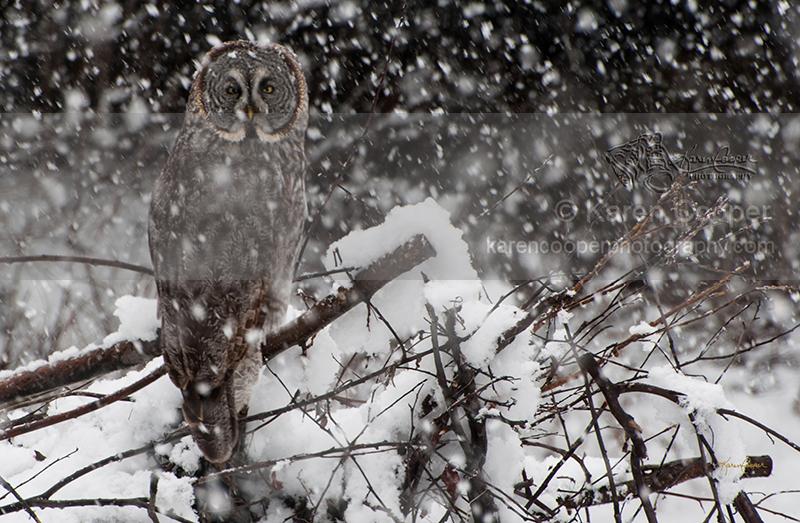 """Great Grey Owl in Snowstorm"""