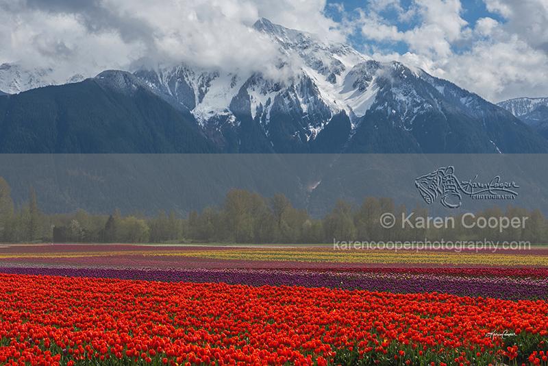 """""""Tulip Fields"""""""