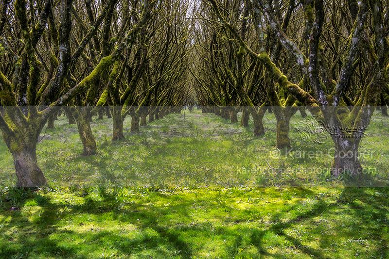 """""""Hazelnut Orchard #2"""""""