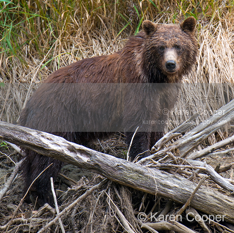"""""""Watchful Grizzly Mom"""""""