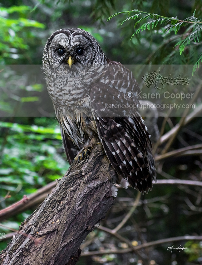 """""""Barred Owl and Mate"""""""