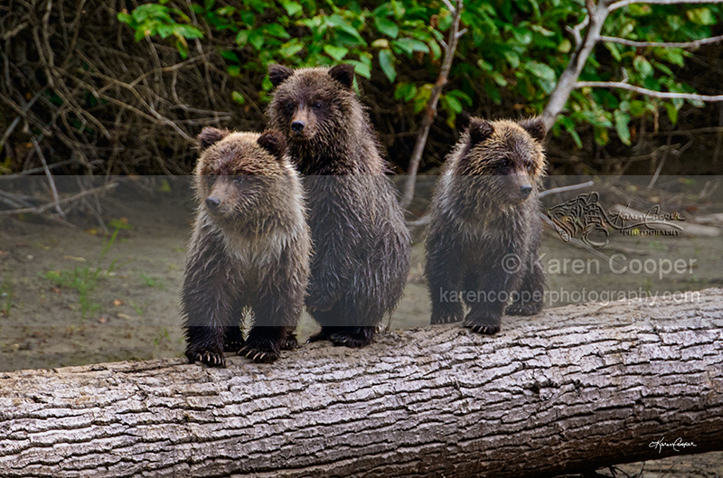 Three Grizzly Cubs