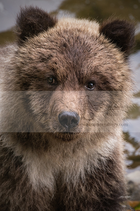 Grizzly Cub Face