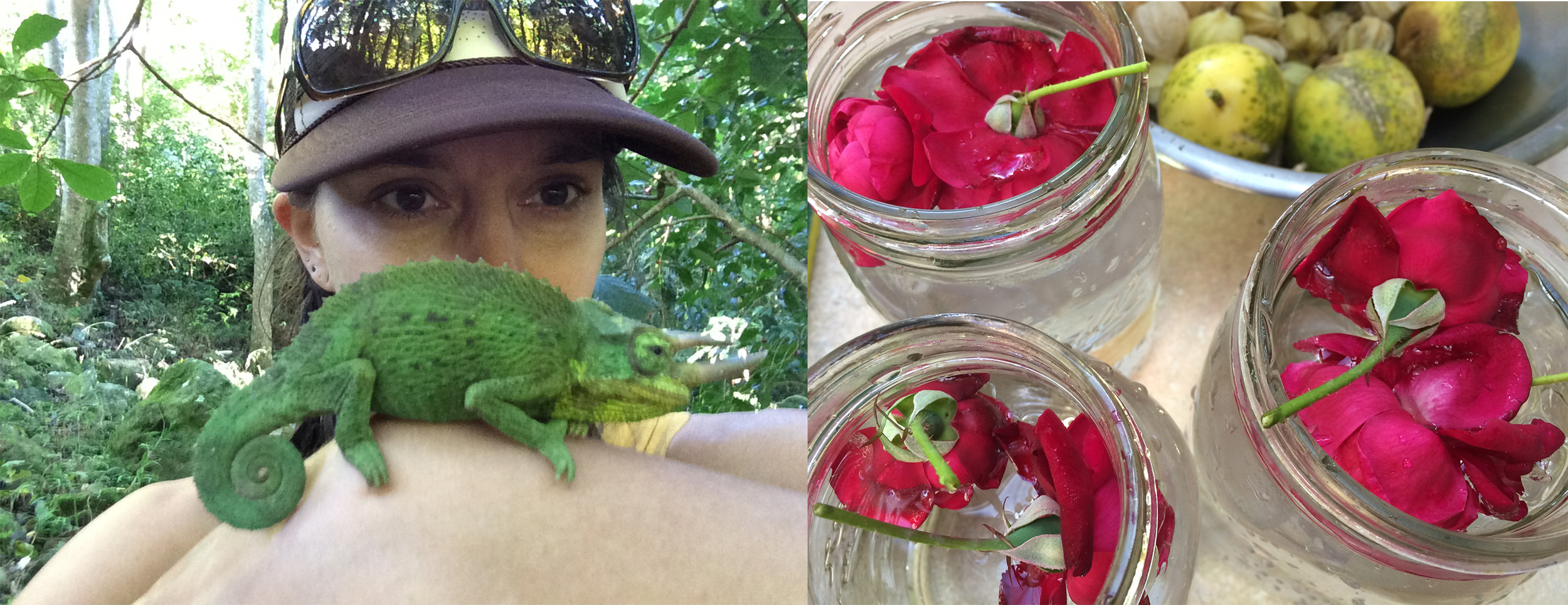 jackson chameleon finds, making rose water and bowlfuls of lilikoi