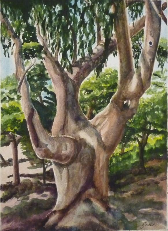 big_eucalyptus_s.JPG