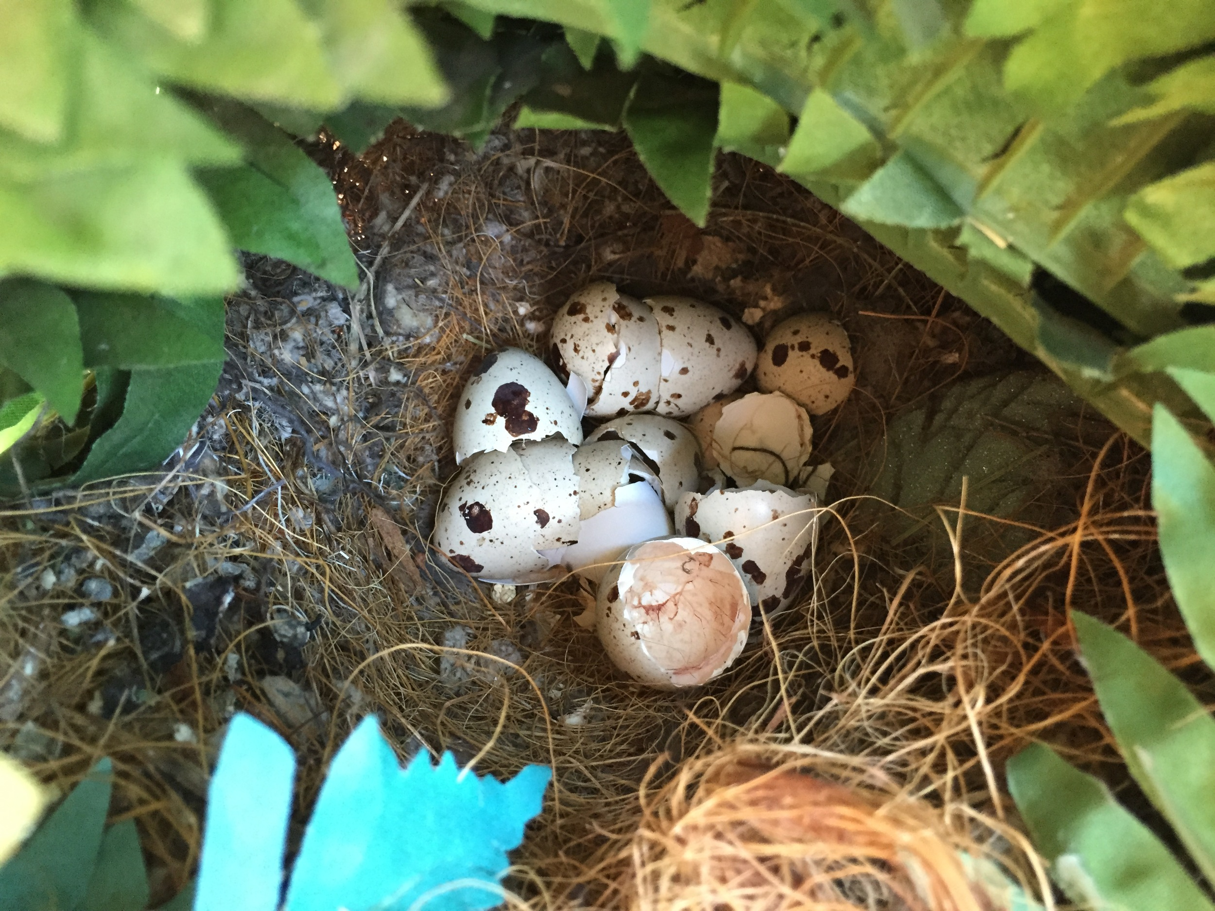 miss quail eggs.JPG
