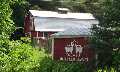 Maple Leaf Llama Farm  PO Box 61  Craftsbury Comm  VT 05827  Phone: (802) 586-2873