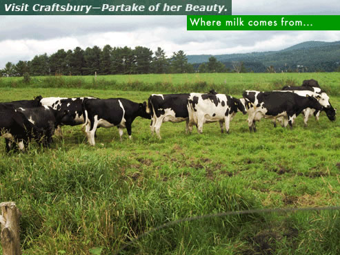 Copy of cows in Craftsbury
