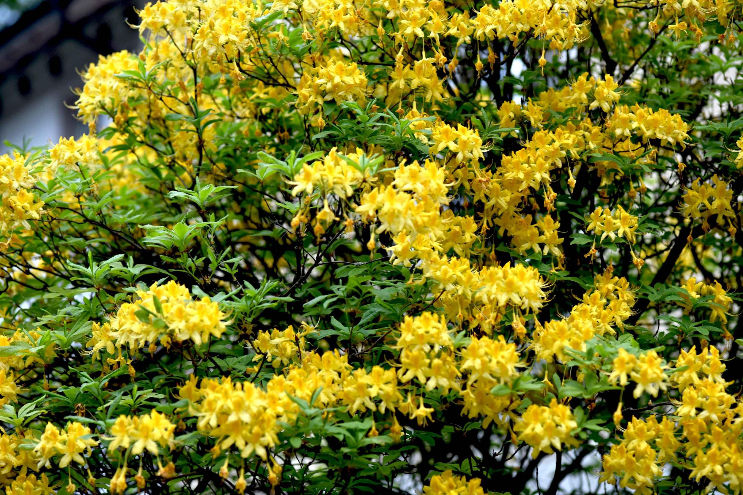 yellow spring blossoms, spring flowers, Lichtentaler Allee, Baden Baden, Germany. Image©sourcingstyle.com