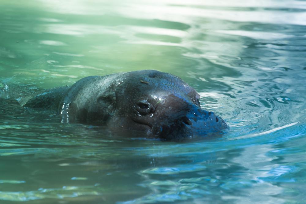 "Pygmy Hippo using ""Deep End"""