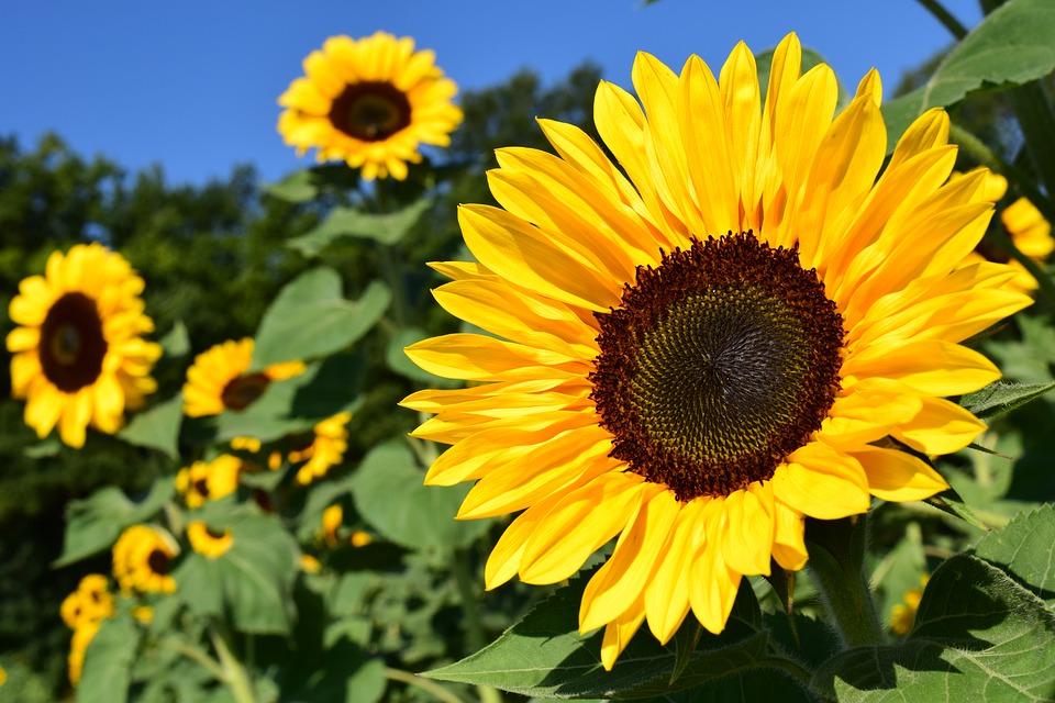 sunflower-1627193_960_720.jpg