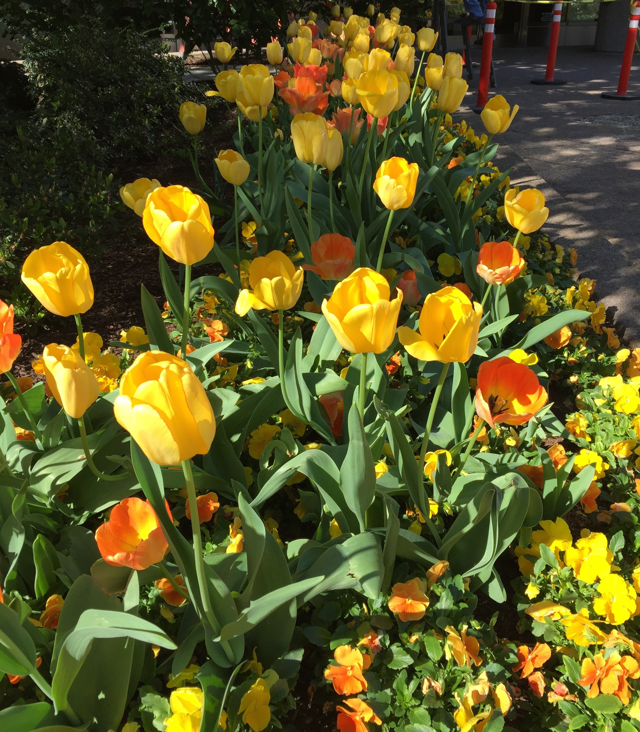 yellowcoraltulips