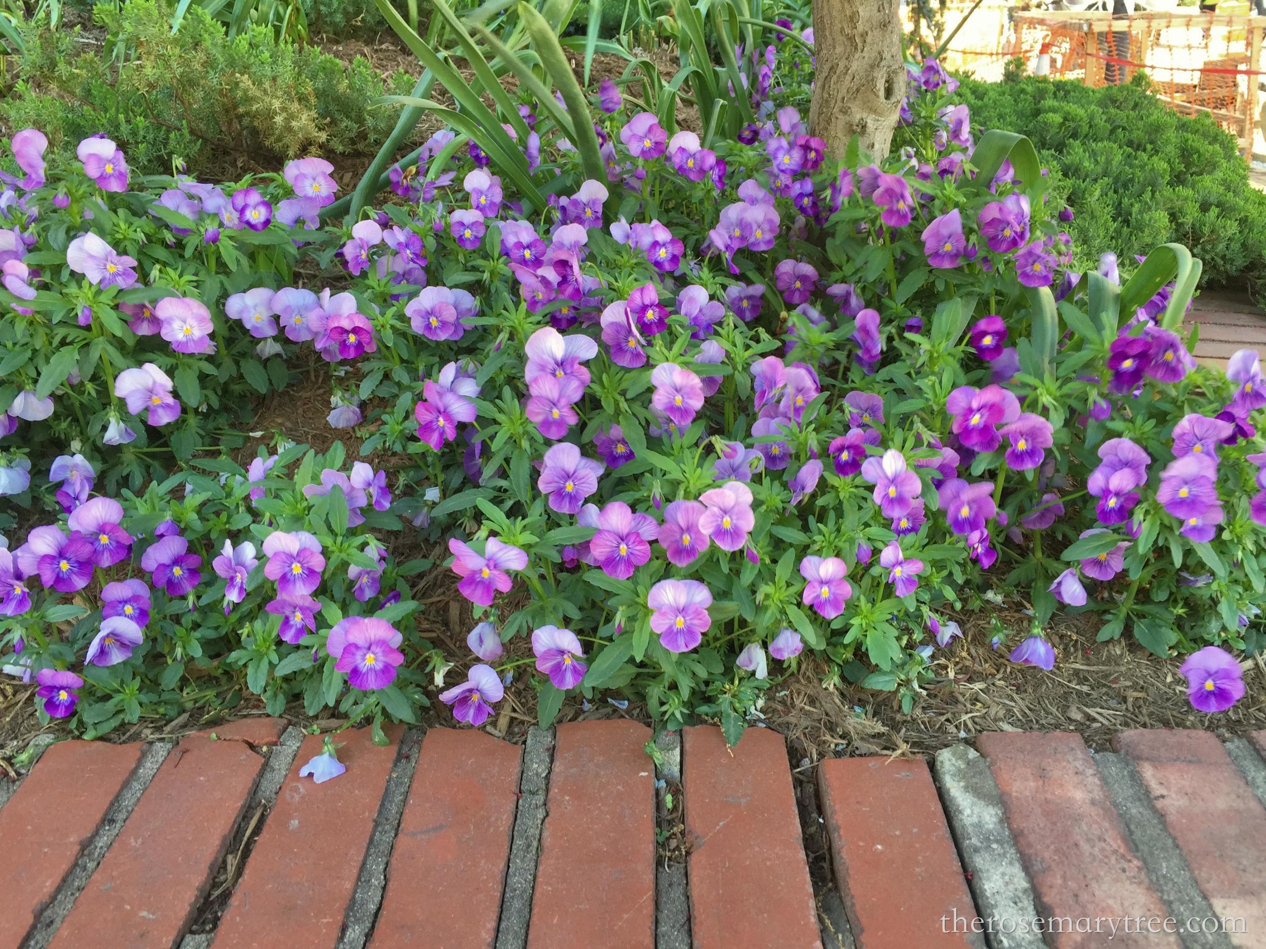 lavenderpansies