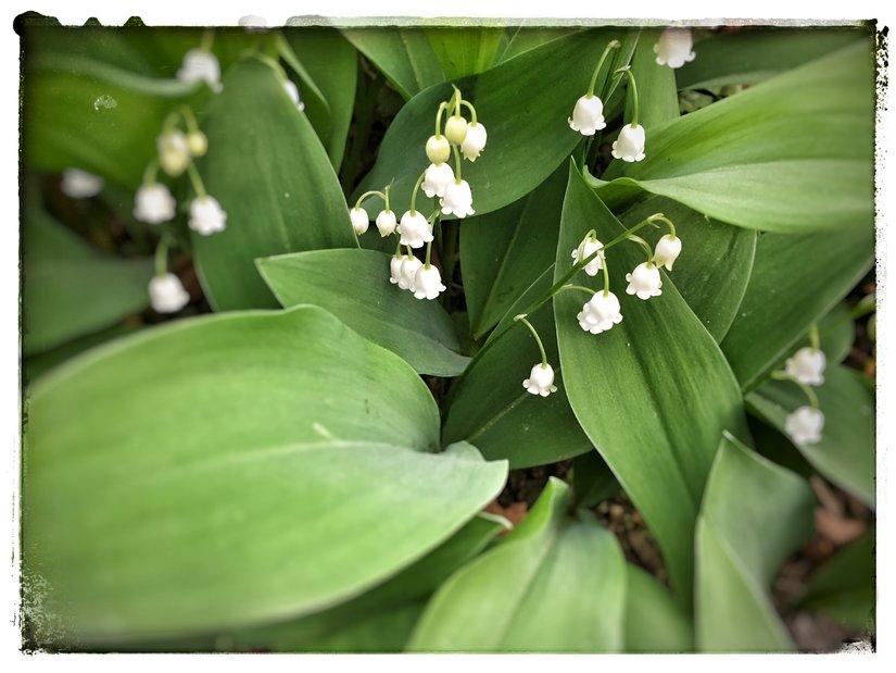lilliesofvalley_800.jpg