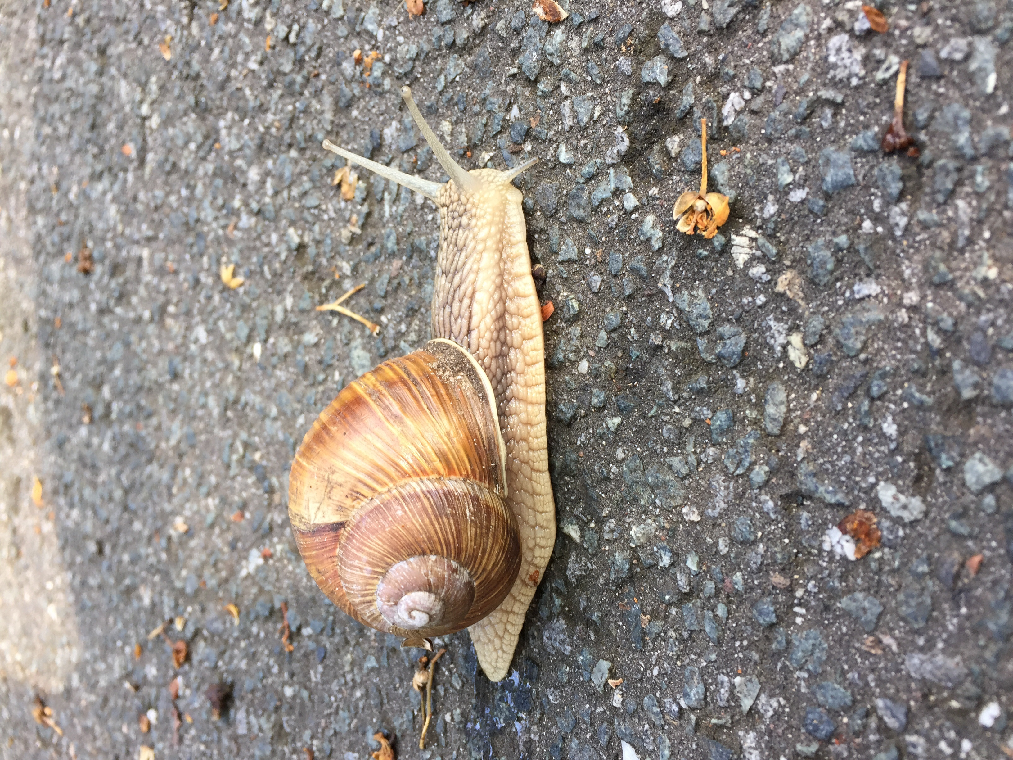 So many of these guys on the trail. And their cousins, the slug, stick to your bags - and stretch to 10x their body. Yuck!