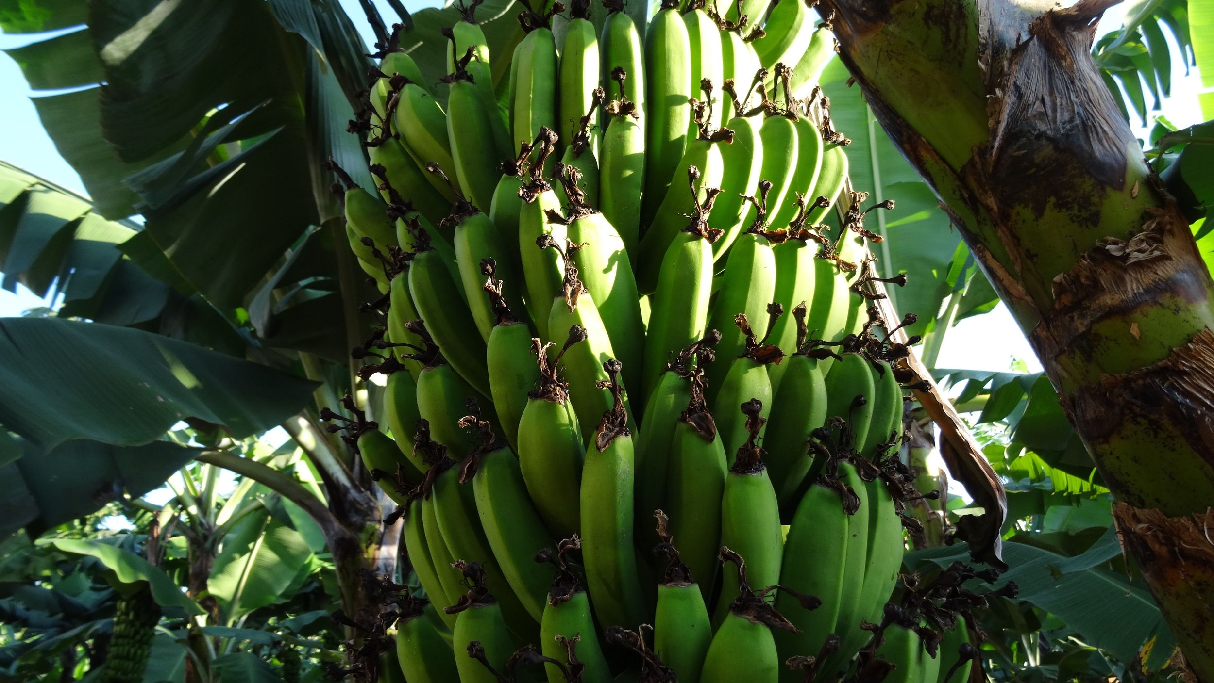 The banana is a fundamental part of the Bukoba diet.