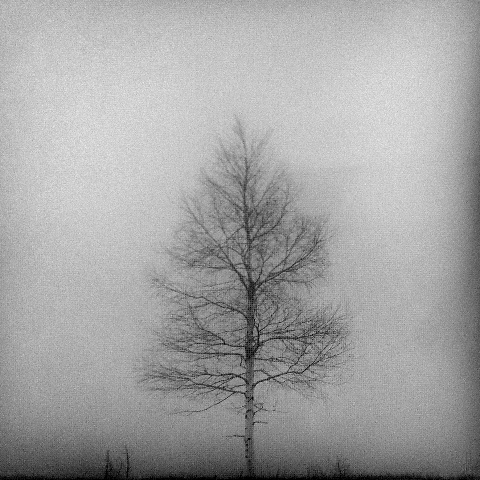 Birchtree in the fog | Black Forest