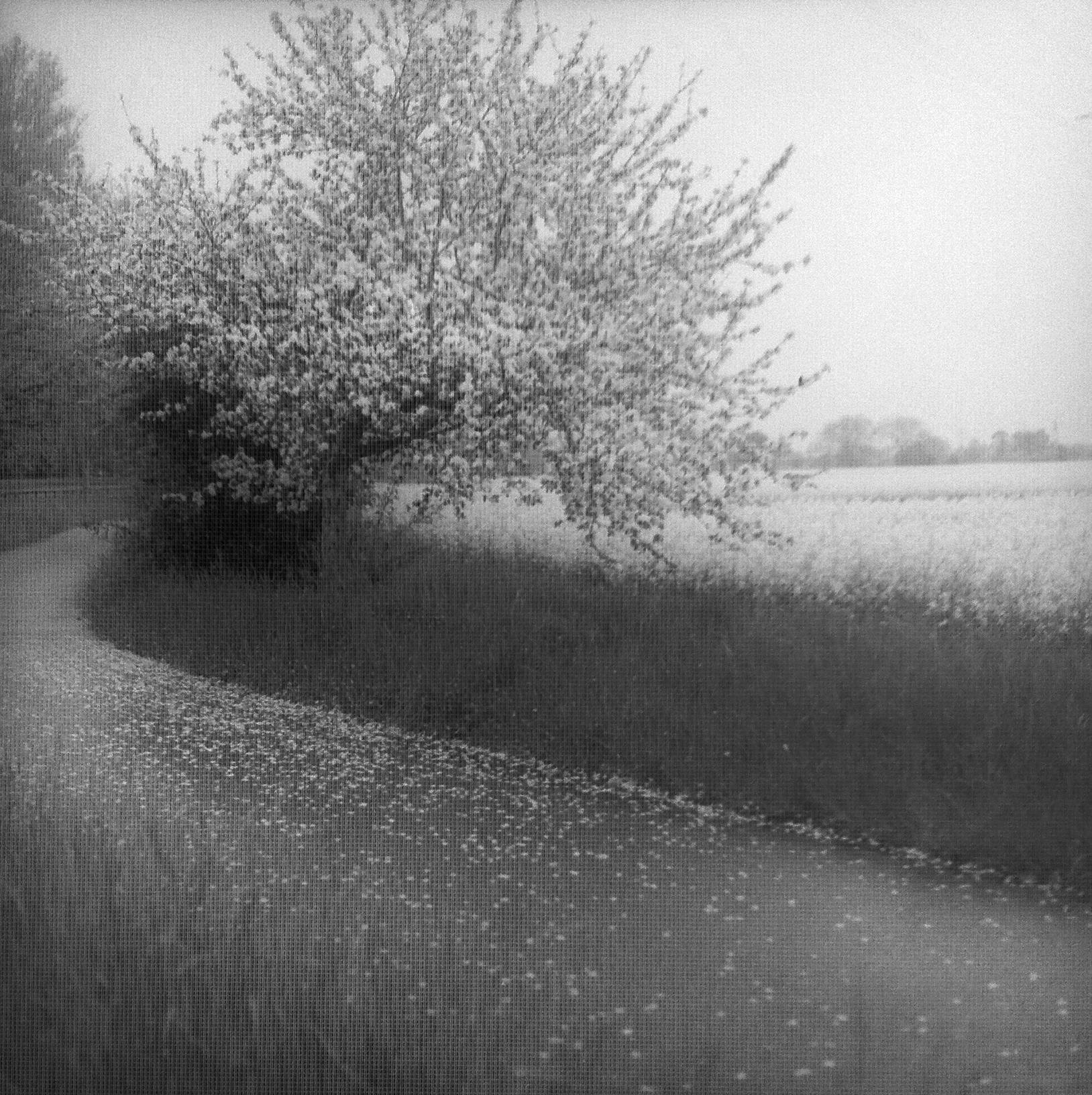 Canola fields in the rain