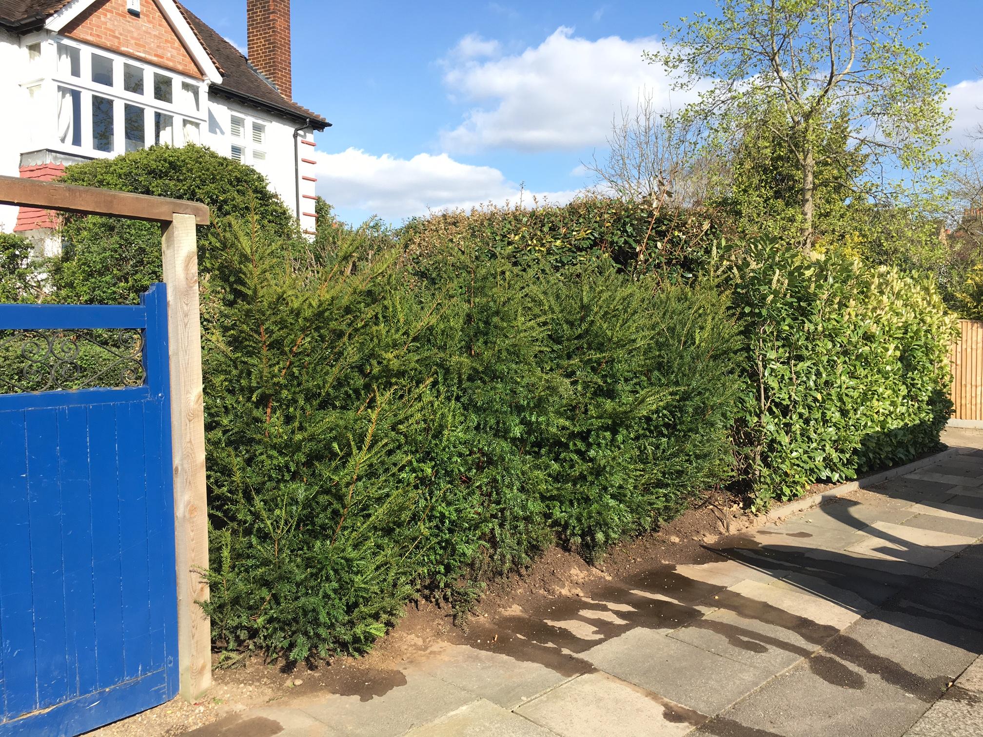 Yew hedge6.JPG