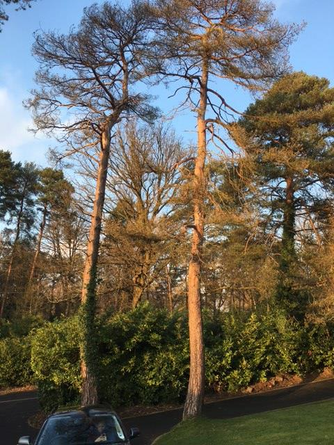Dangerous Pine trees in need of removal.