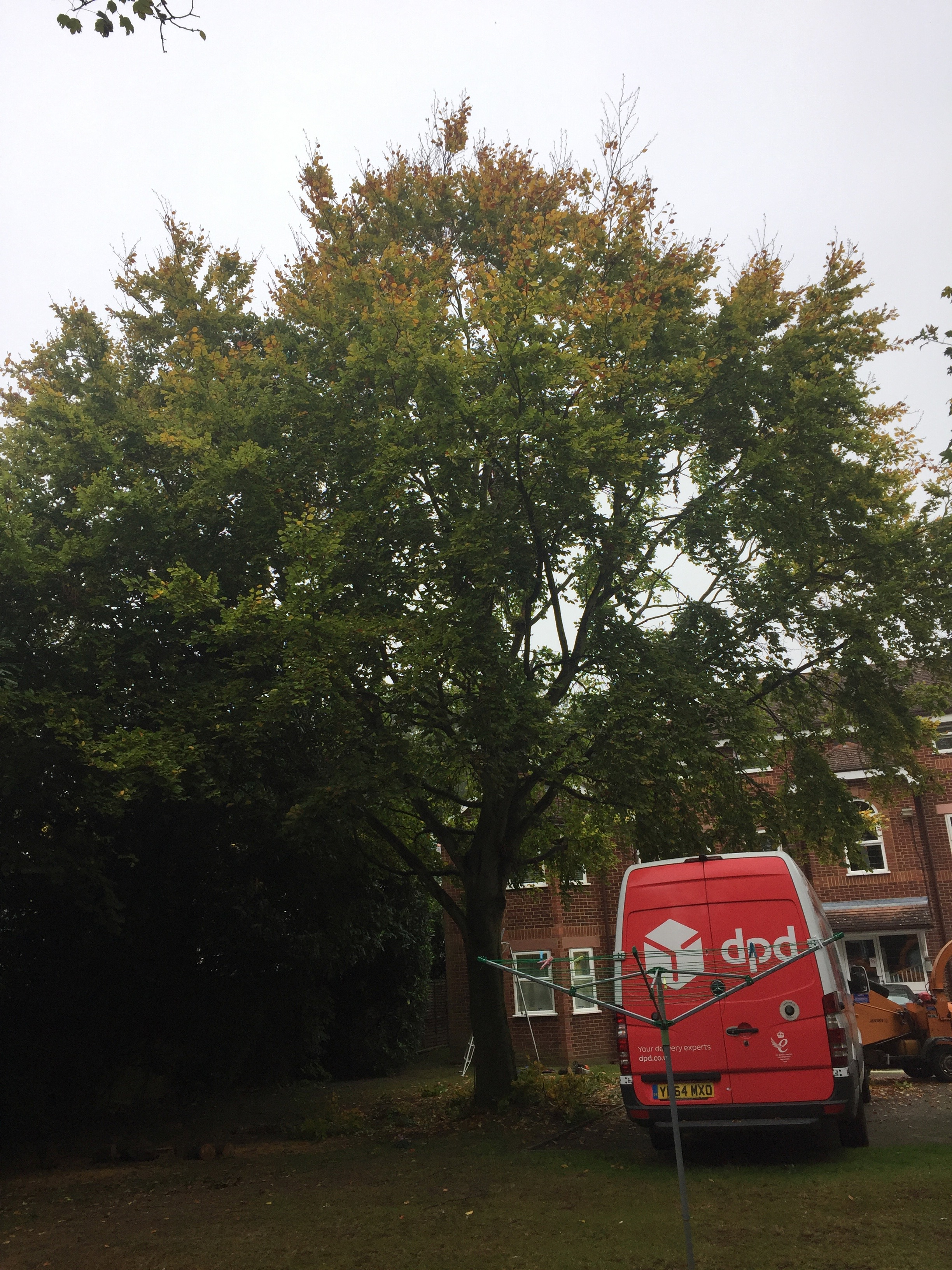 Beech tree reduction before