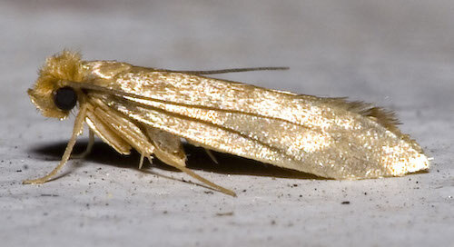 Tineola bisselliella, commonly known as a cloth moth.