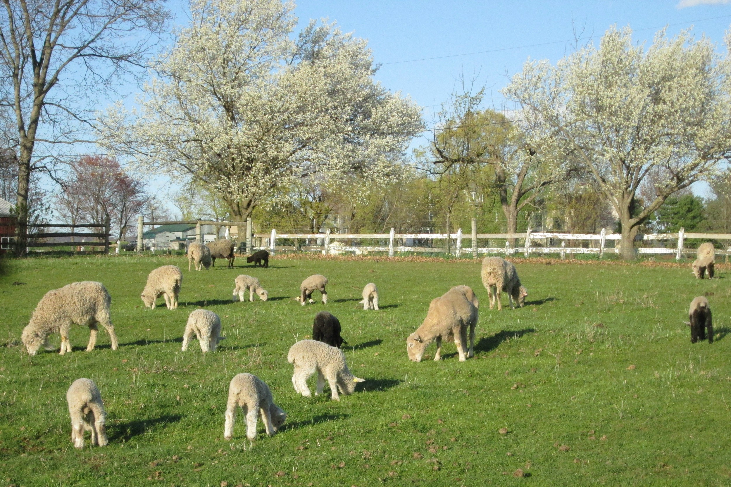 Ewes and lambs on spring pasture